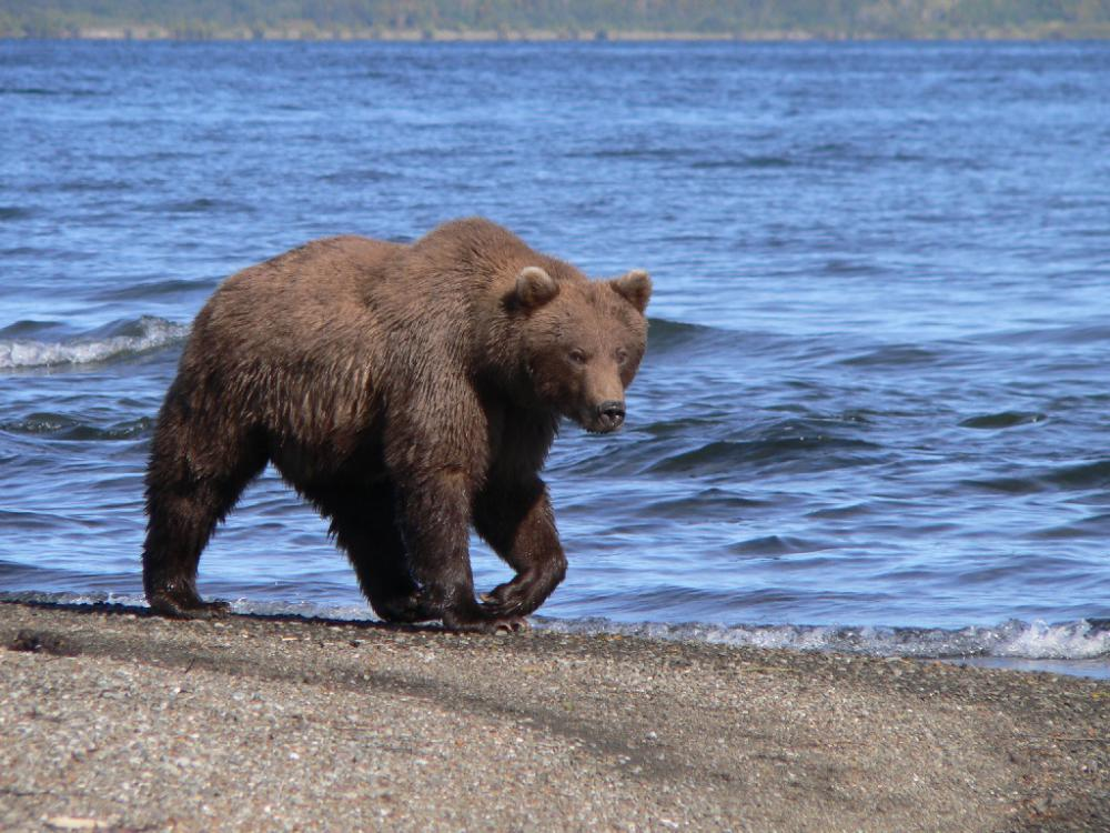 The average size of a mature Kamchatka bear is approximately 8.5 feet with a 25-inch skull